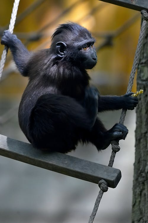 Black Monkey Holding to a Rope