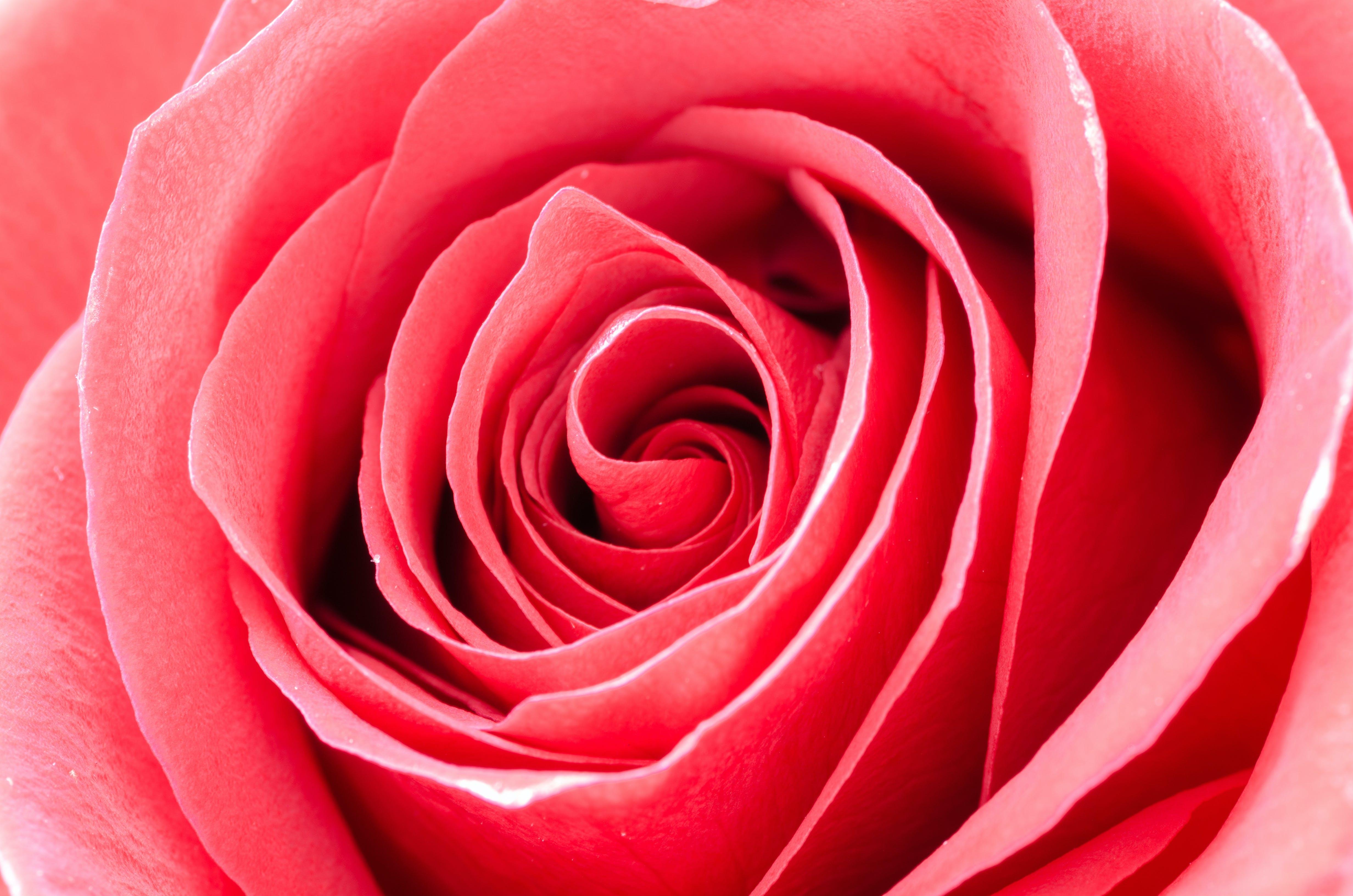 Red Rose Portrait