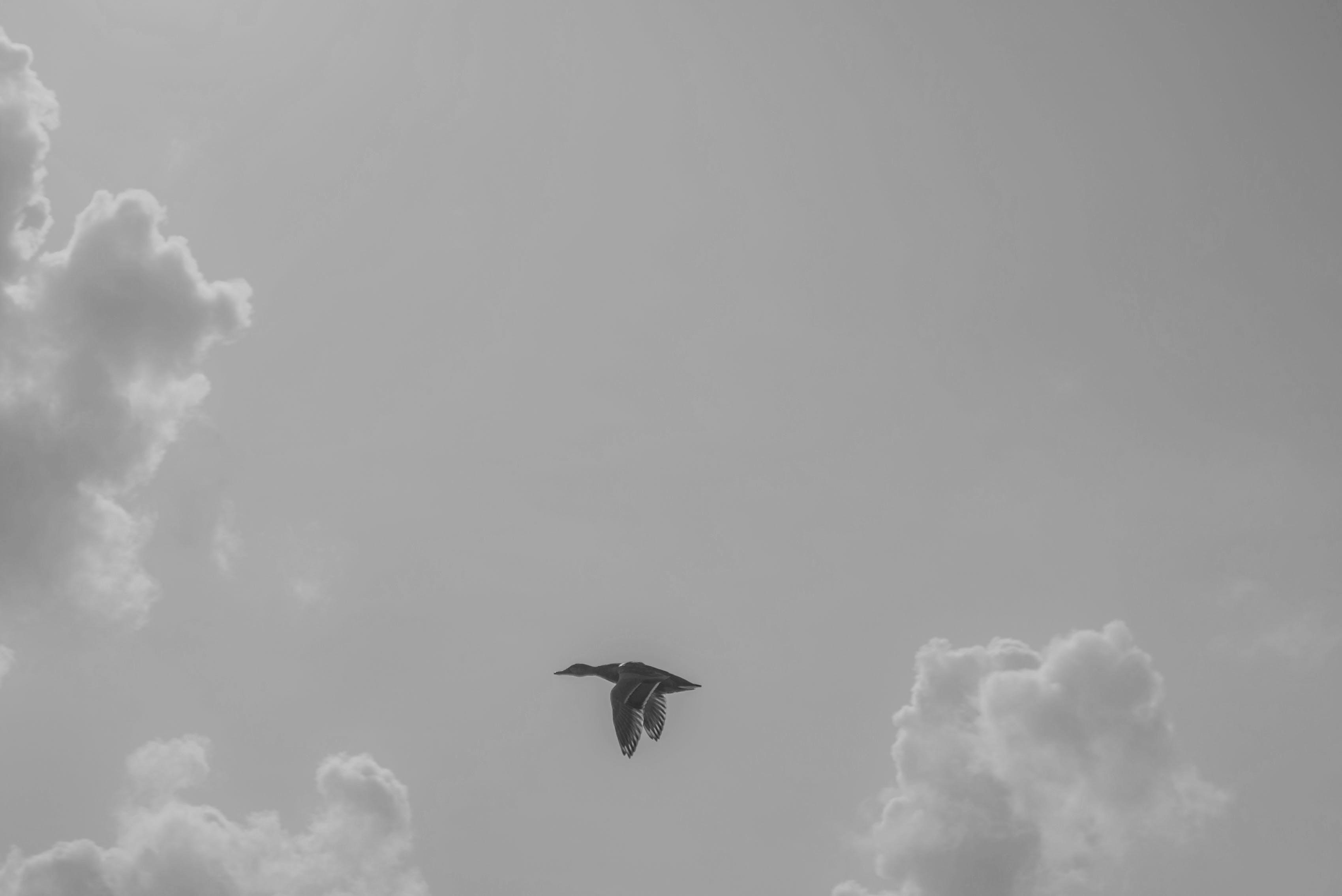 Black Goose Flying