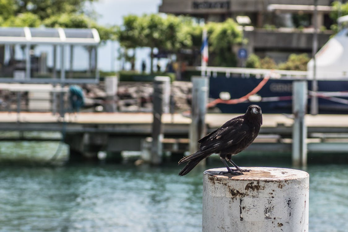 Free stock photo of black bird, crow, ouchy