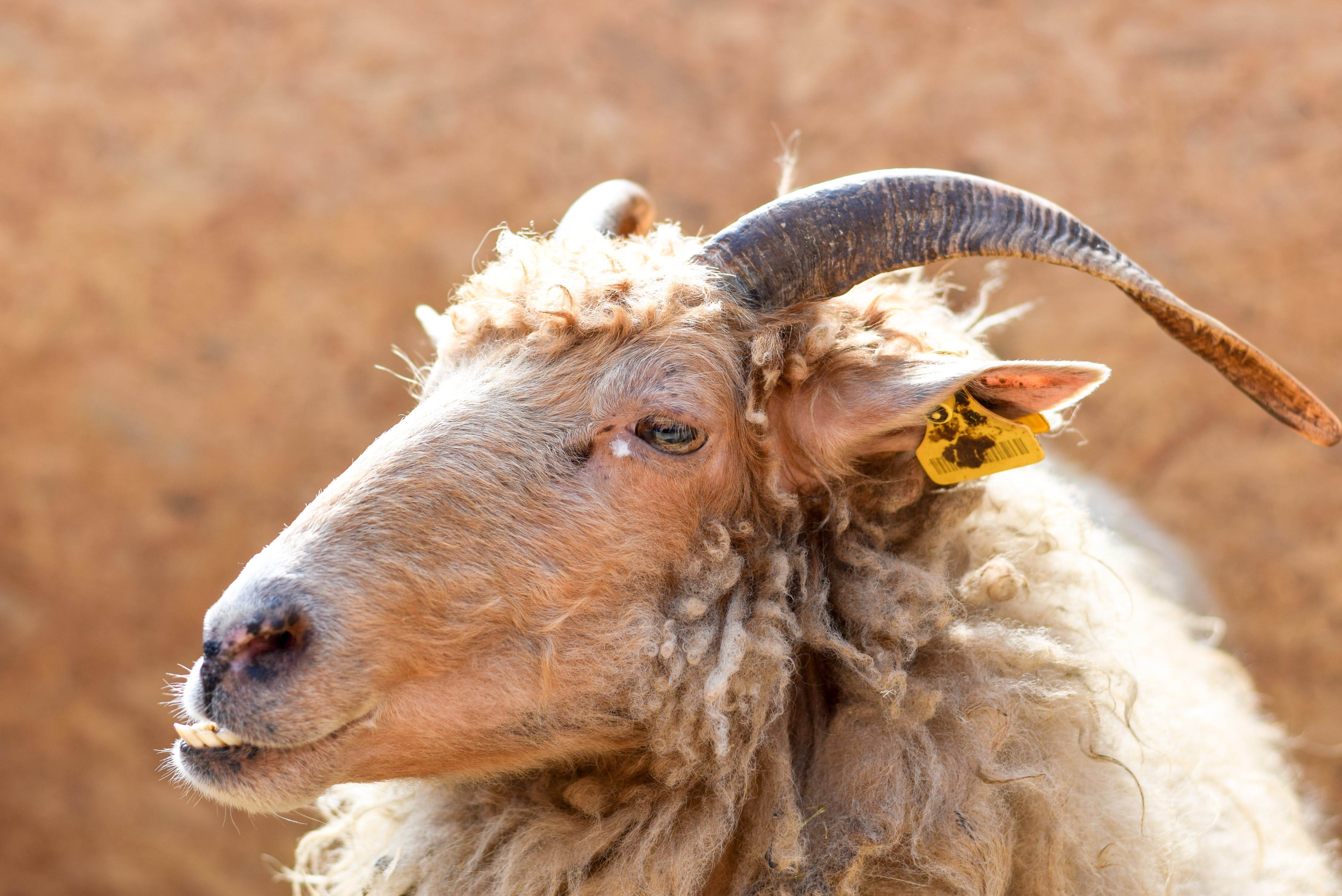 Brown Sheep With Yellow Tag on Ear