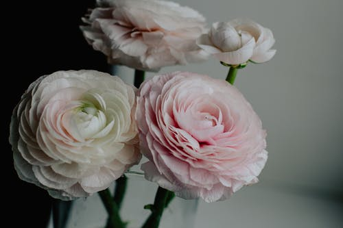 Bouquet of aromatic delicate light pink ranunculus flowers placed in glass vase in room