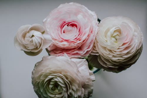 Top view composition of fragrant white and pink ranunculus flower buds on white background