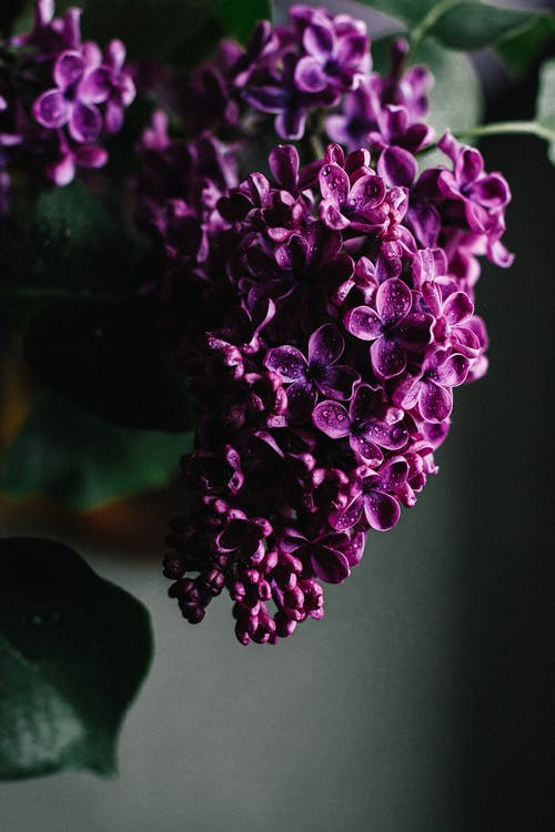 Delicate bright violet lilac flower bunch placed for decoration in modern apartment room