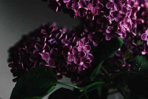 Lush purple lilac flower covered with dew in room