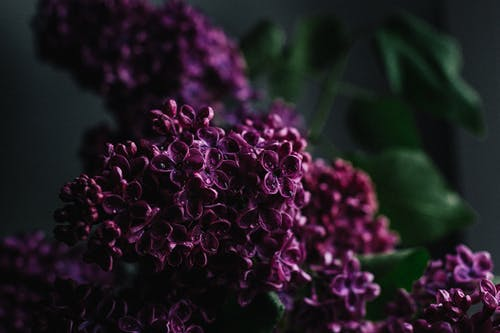 Gentle fragrant lilac flowers with dew on violet petals spreading pleasant scent in dark studio
