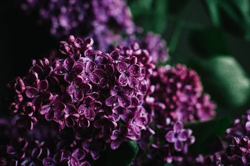 Lilac flowers with dew on purple petals