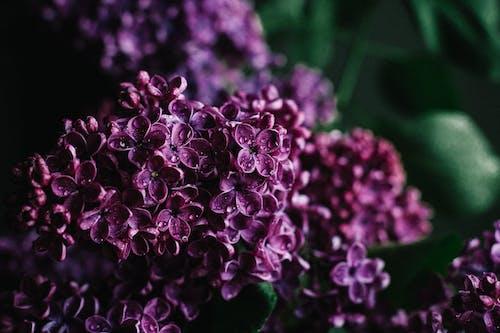 Kostenloses Stock Foto zu aromatisch, blühen, blume