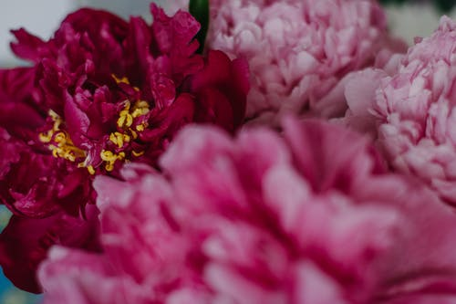 Full frame delicate fragrant peony flowers with tender pink petals placed in studio