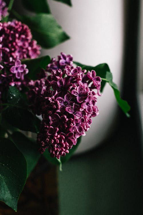 Delicate lilac flowers bunch with fragile purple petals placed for decoration in dark room