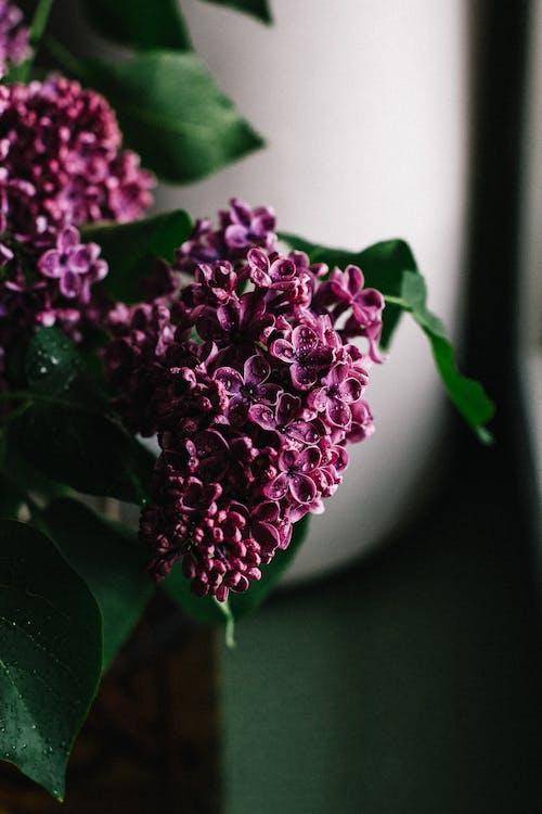 Kostenloses Stock Foto zu aroma, aromatisch, blühen