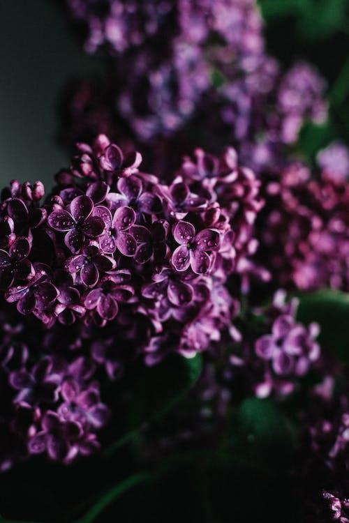 Bunch of delicate purple lilac flowers in garden