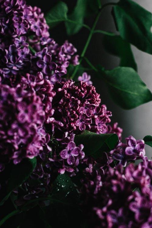 Delicate aromatic lilac flowers with tender purple petals on green twig in dark room