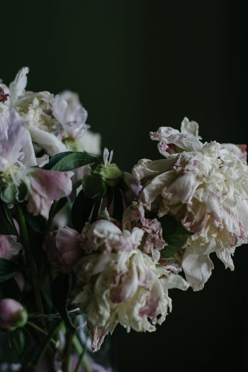 Bunch of decaying white peony flowers in vase
