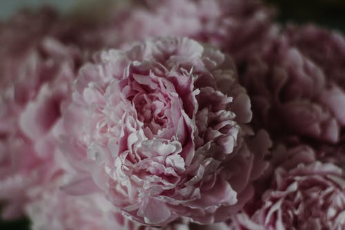 From above full frame tender peony flower buds of light pink color in dark room