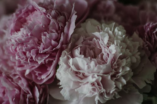 High angle of gentle pink petals of blooming peonies with lush buds in bouquet