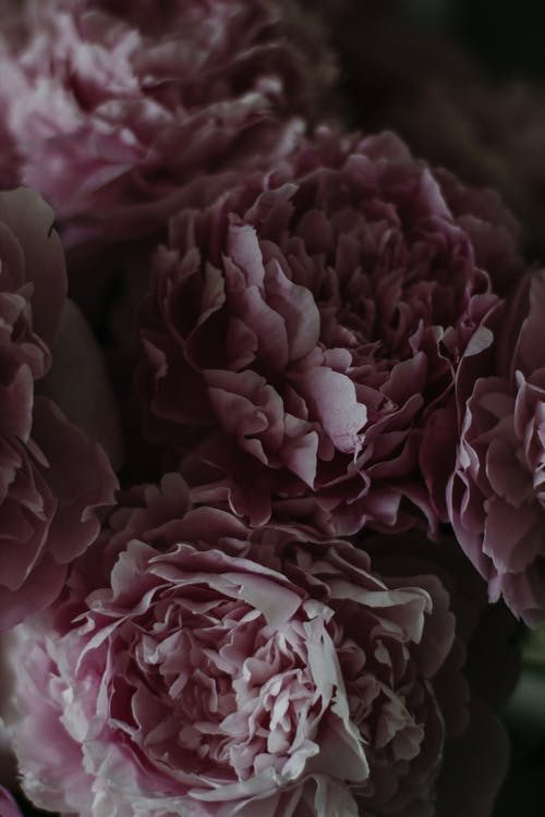 High angle of gentle fragrant fresh pink blooming peonies composed in floral bunch