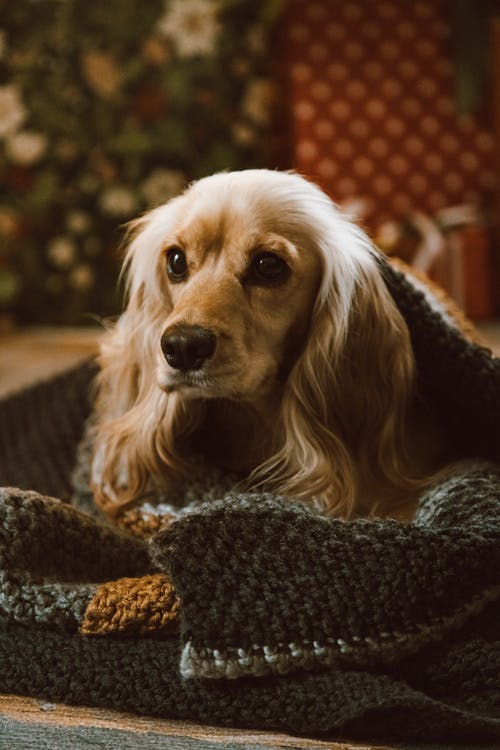 Brown Dog Laying on a Blanket