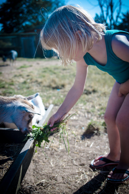 Free stock photo of child, denmark, goat, summer