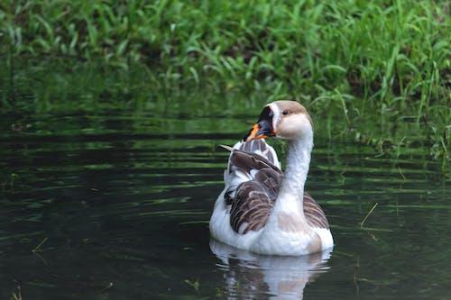 Fotos de stock gratuitas de animales, aves, cisne