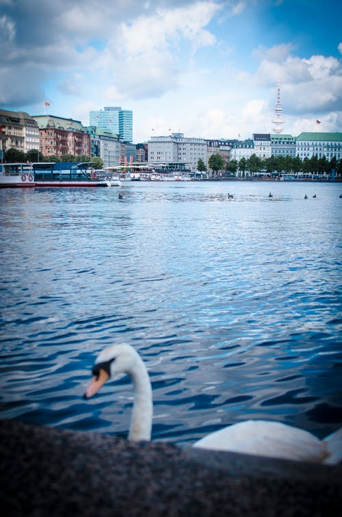 Free stock photo of hamburg, swan