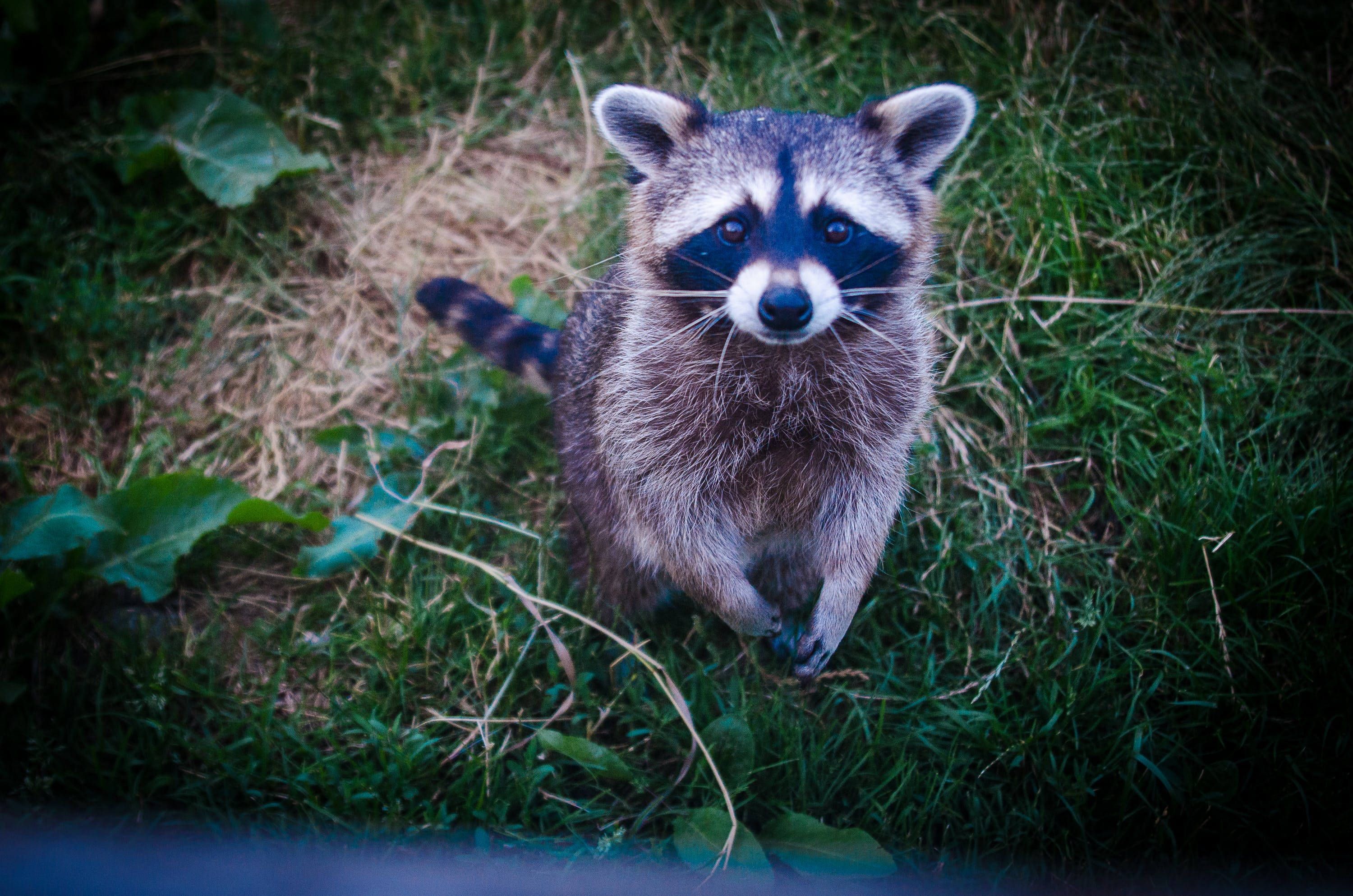 Brown and Black Raccoon Photo