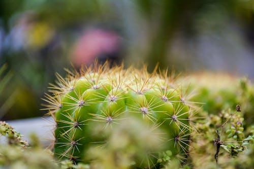Fotos de stock gratuitas de cactus, cactus suculento, fotografía de plantas