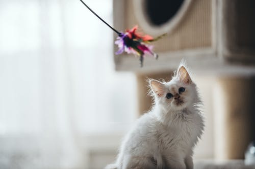 White Kitten On Table