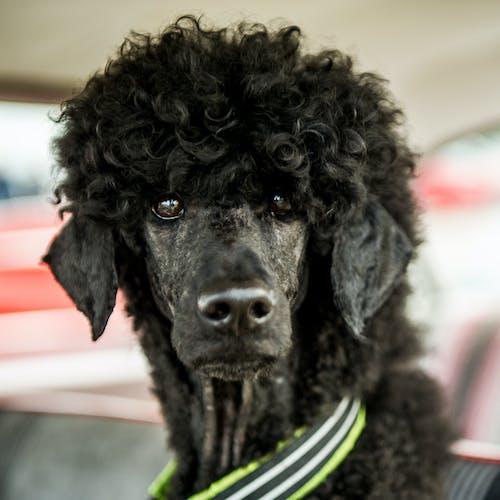 Бесплатное стоковое фото с пудель, собака, собака пудель