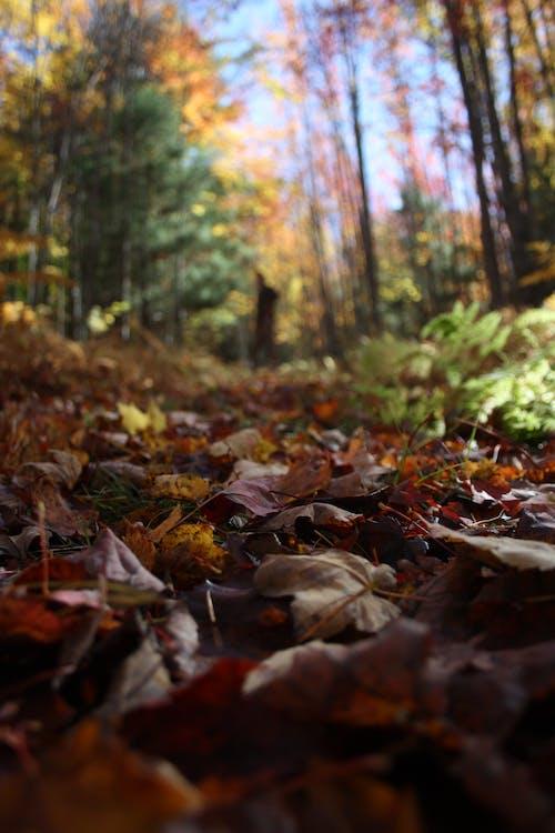 คลังภาพถ่ายฟรี ของ coutryside, ธรรมชาติ, ป่า, ใบเมเปิ้ล