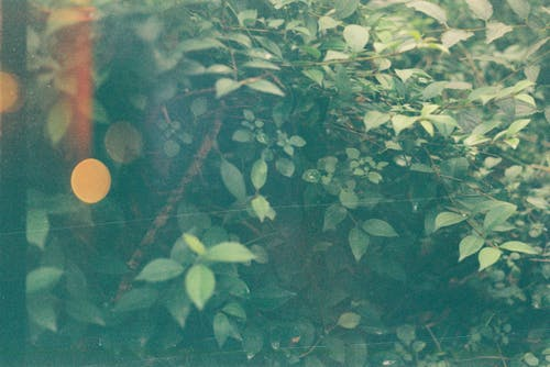 Immagine gratuita di 35mm, cespuglio, doppia esposizione, foglie