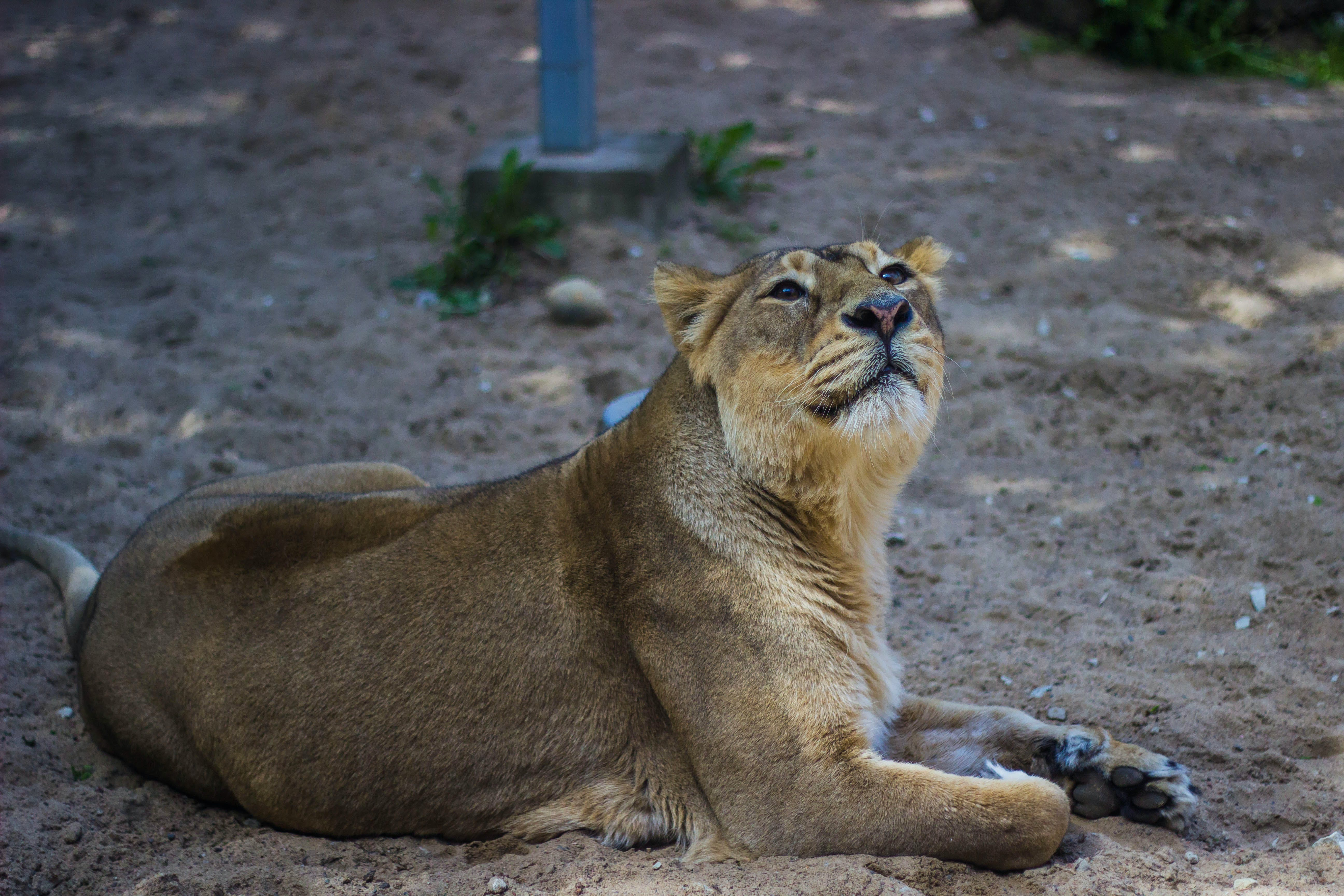 Kostenloses Stock Foto zu tier, afrika, zoo, löwe