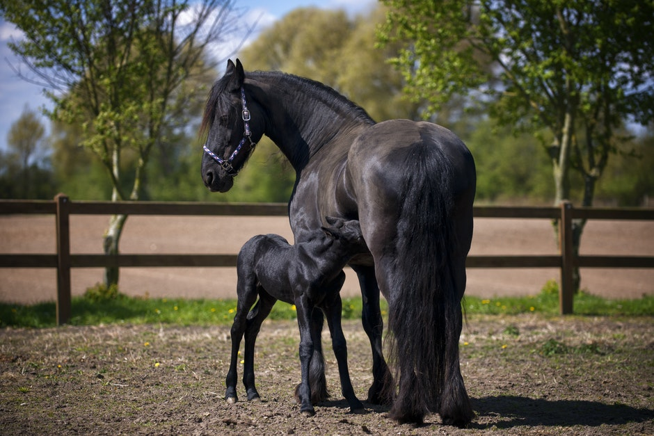 Two Black Horse on Field
