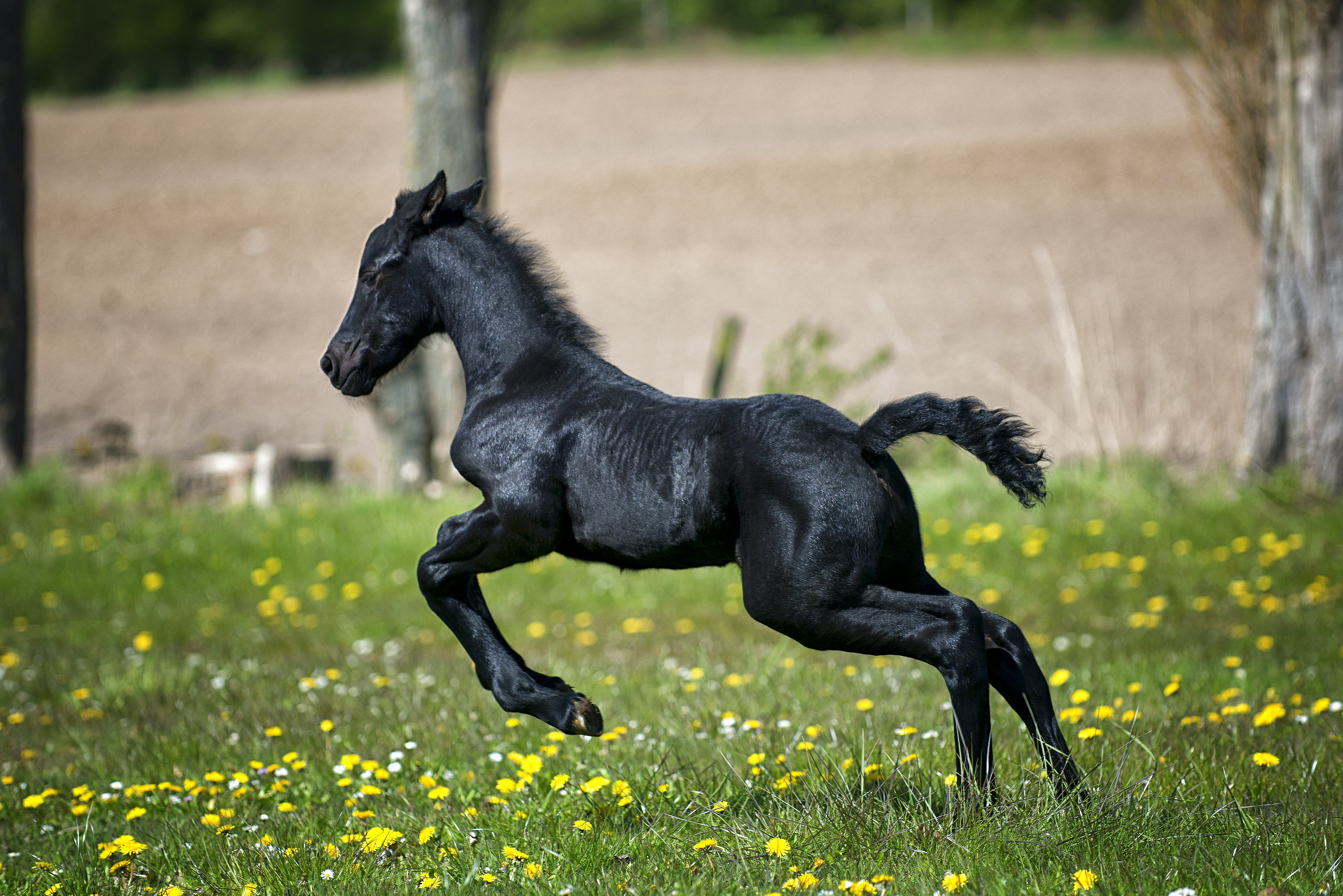 Black Horse Running on Grass Field With Flowers