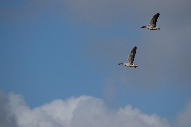 Gratis lagerfoto af blå, bue overskyet himmel, gæs, himmel