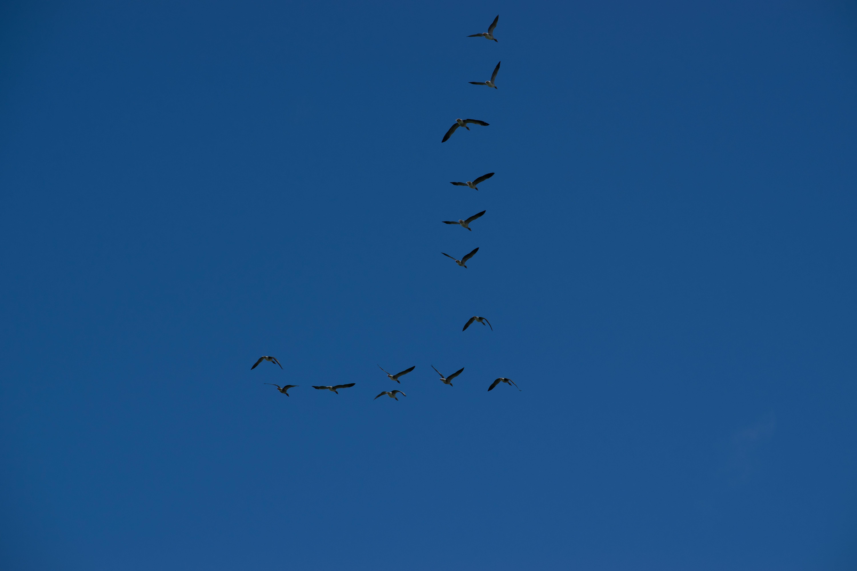 Gratis lagerfoto af blå, bue overskyet himmel, formationsflyvning, gæs