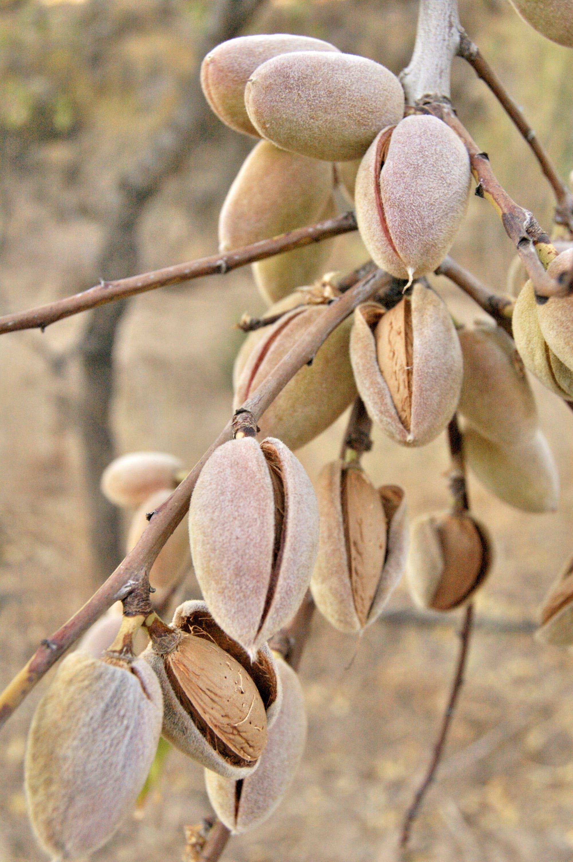 Brown Pistachio Nut Lot