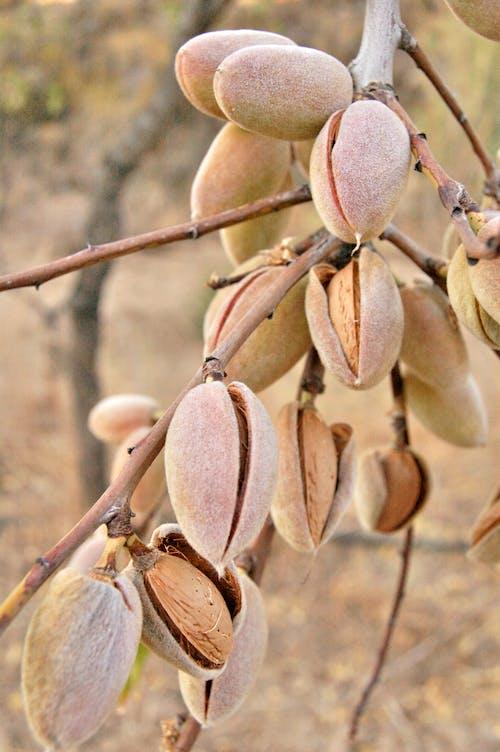 Foto profissional grátis de alimento, amêndoas, árvore, aumento