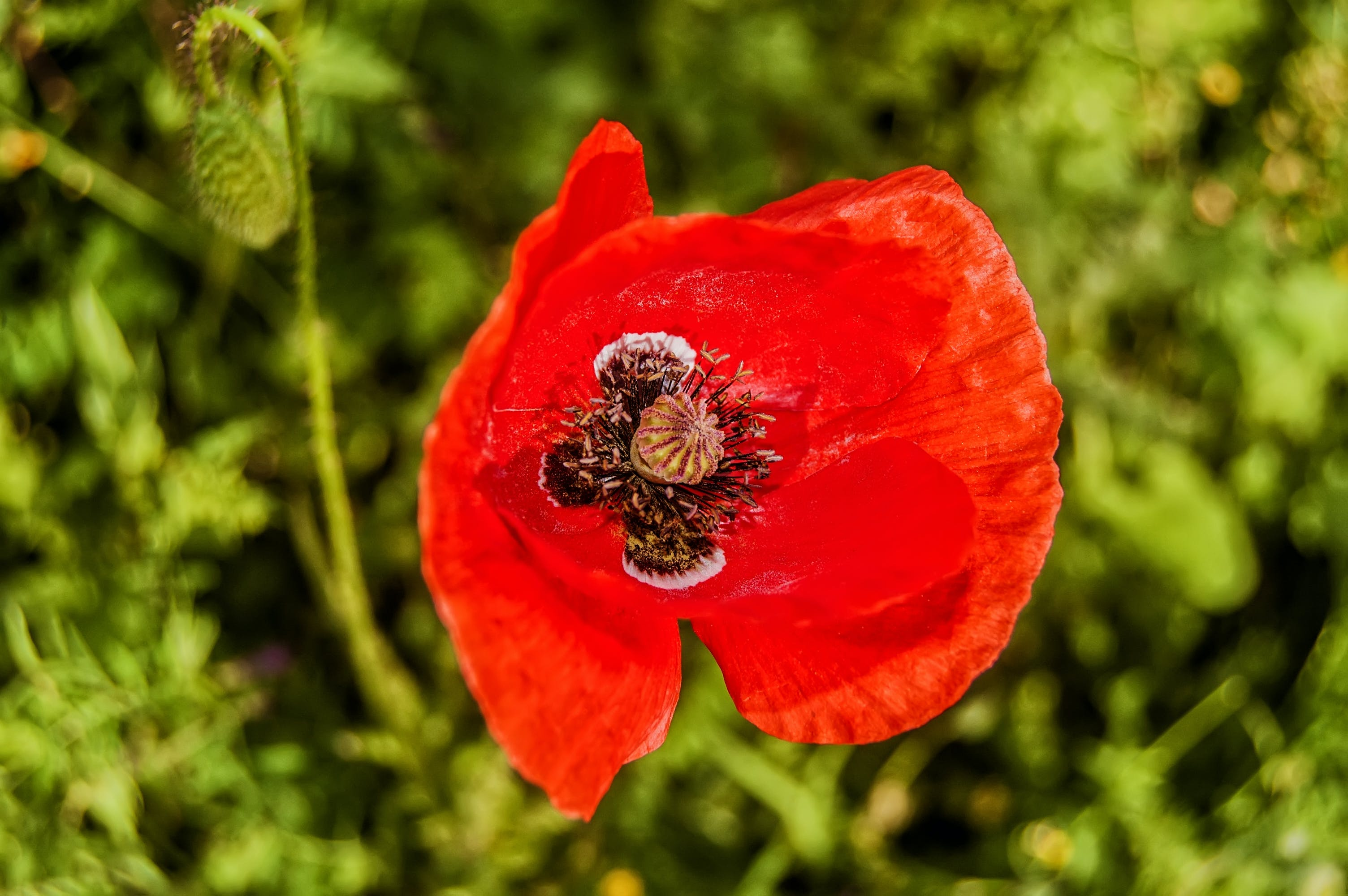 Selective Focus Photography of Common Poppy