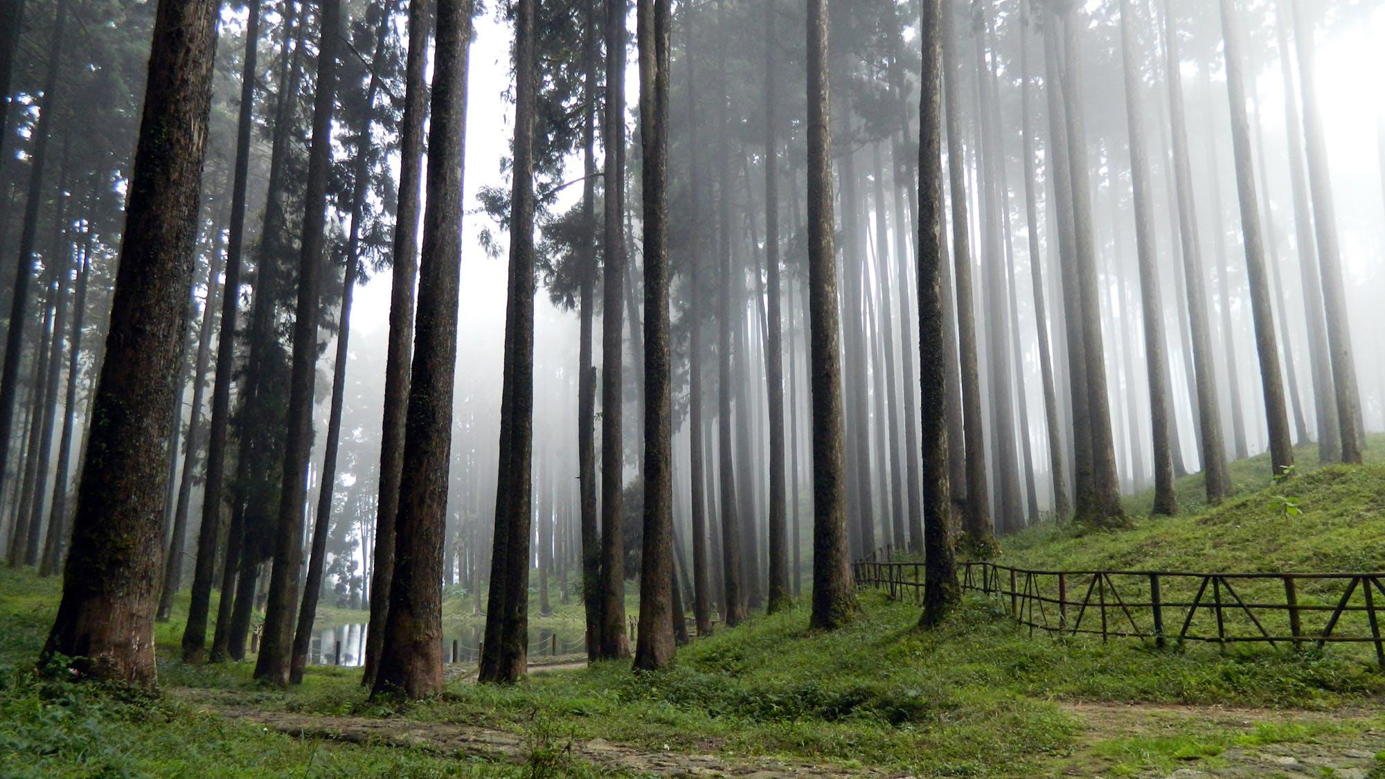Základová fotografie zdarma na téma borovice, denní světlo, jehličnan, kmeny stromů