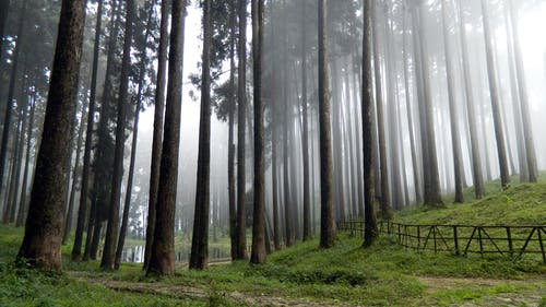 Foggy Forest Tall Trees and Green Grass Field High-saturated Photography