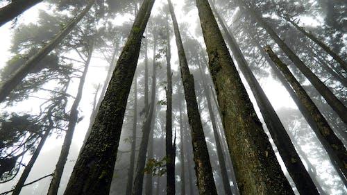 Fotobanka sbezplatnými fotkami na tému denné svetlo, exteriéry, hmla, kmene stromov