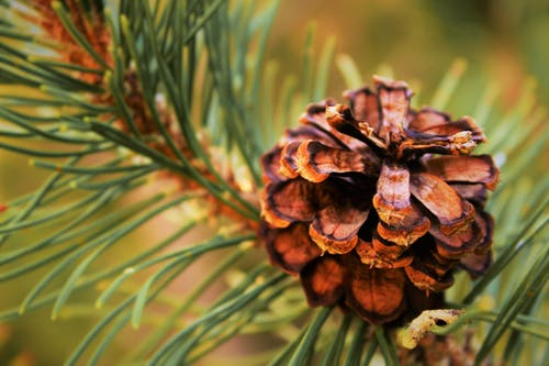 Selective Focus Photography of Conifer Cone