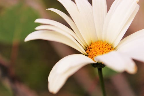 Macro Shot Photography of Daisy Flower