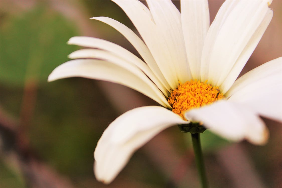 Macro Shot Photography of Daisy Flower