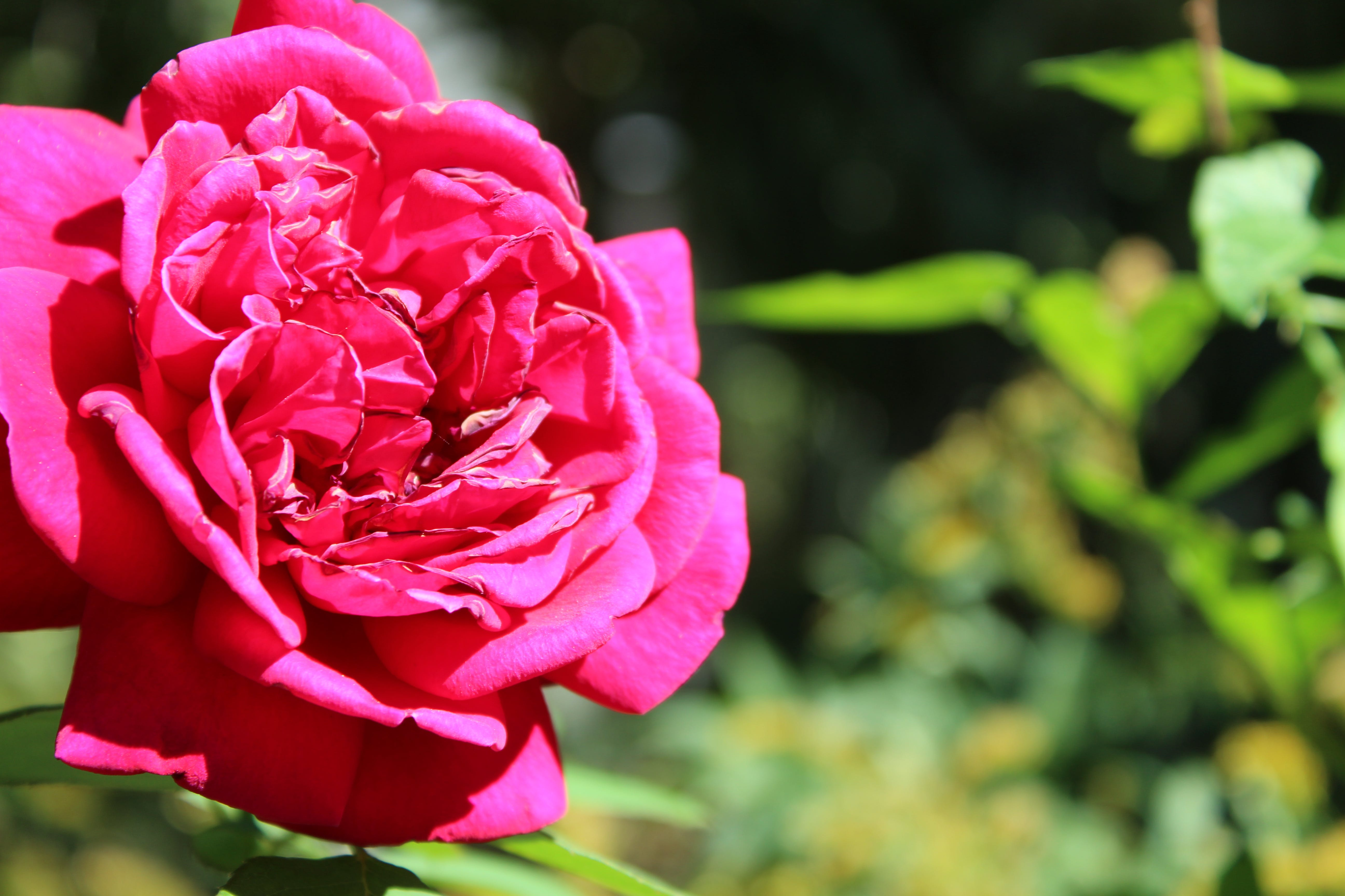 Shallow Focus of Pink Rose