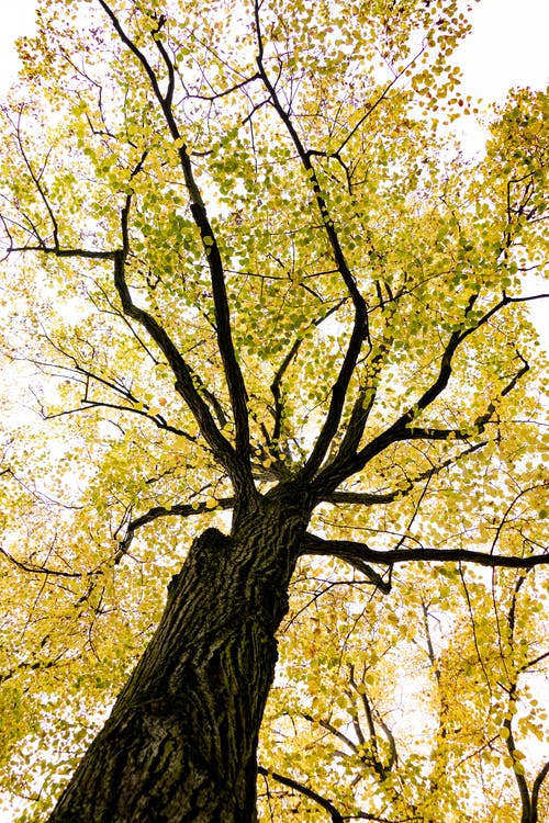 Tall tree with autumn foliage placed in park