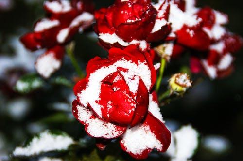 Gratis lagerfoto af forkølelse, frost, natur, rose