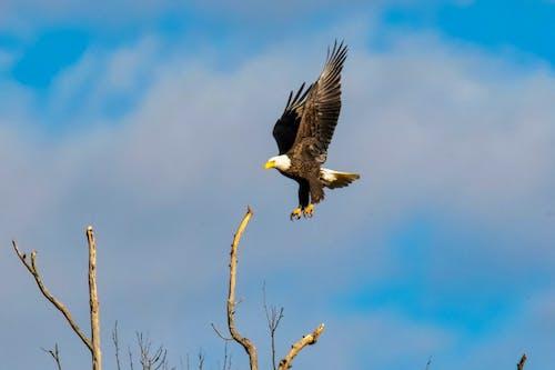 Foto d'estoc gratuïta de àguila, àguila calba, animal, cel blau