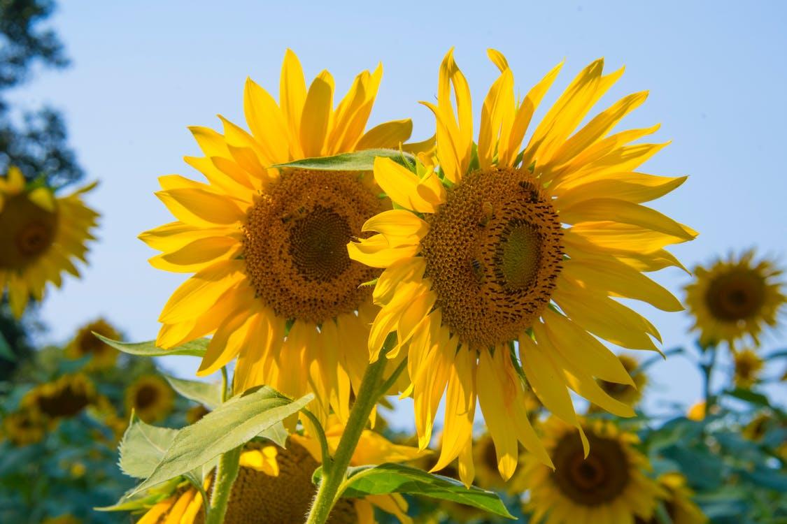 向日葵, 增長, 天性